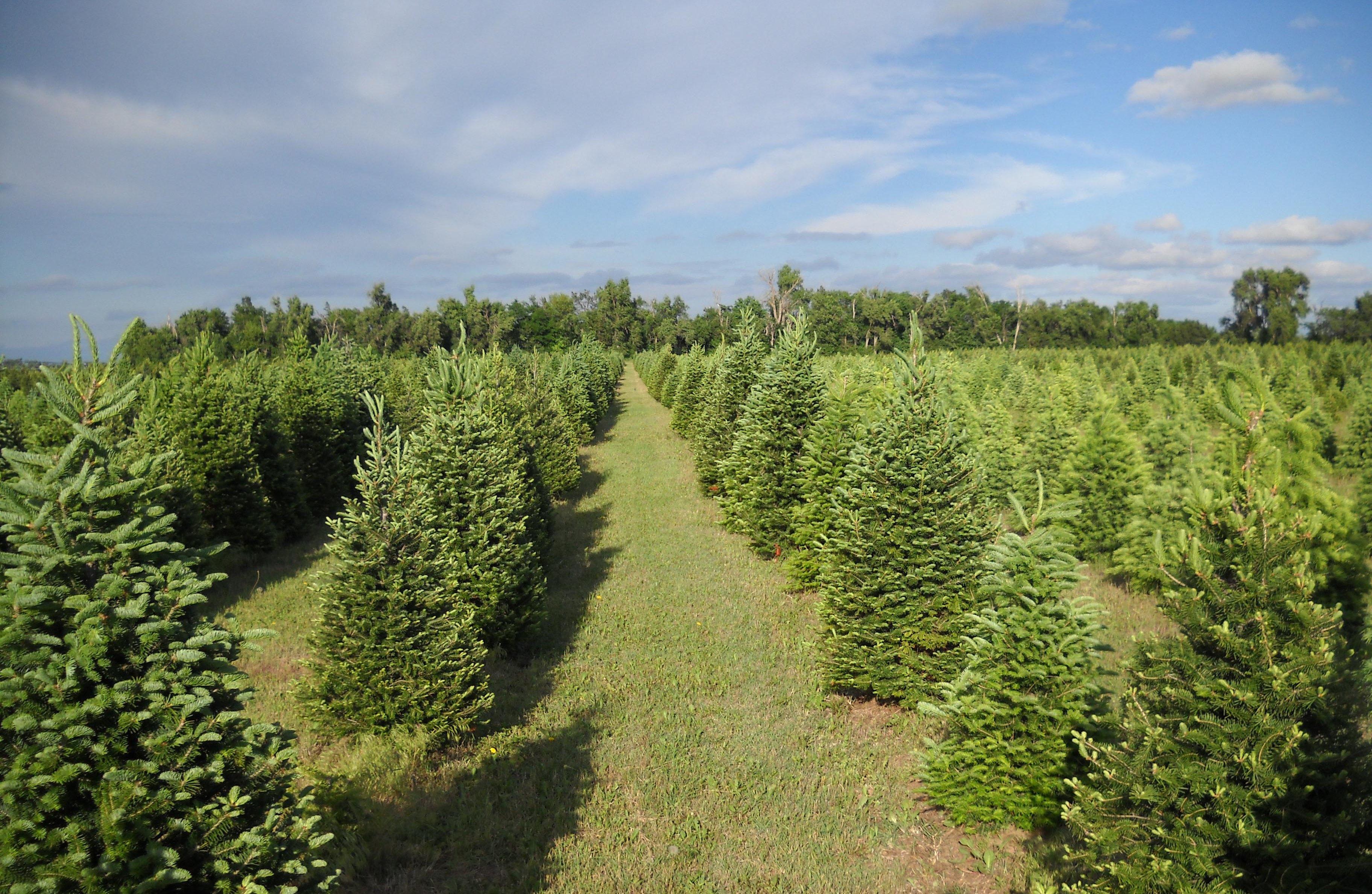 Cut Christmas Tree