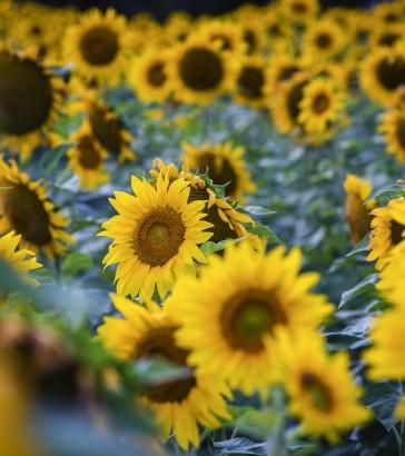 Kansas sunflower field