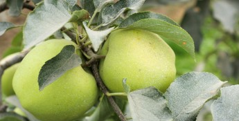 Arctic Apples