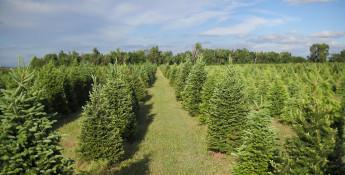 Delp Christmas Tree Farm