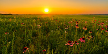 kansas wildflowers