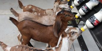 holy_goats