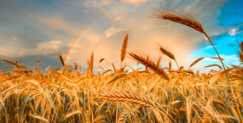 wheat heads up close