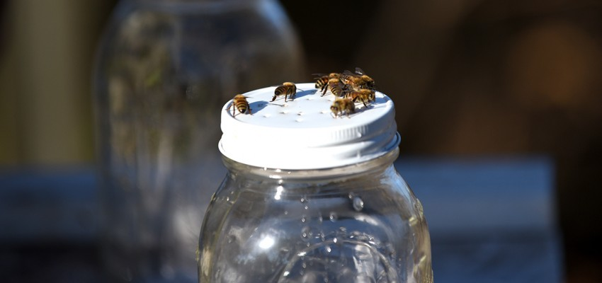 Bees on jar lid