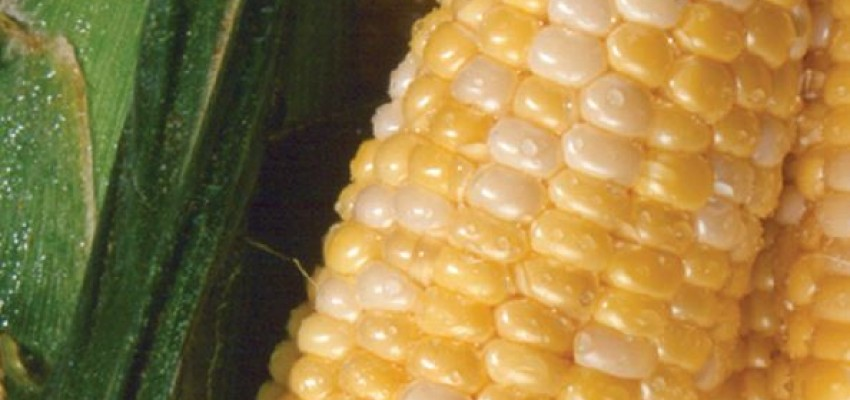 Sweet Corn with Lime