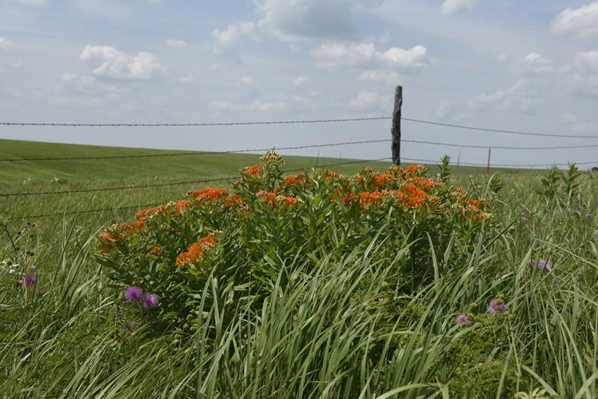 Kansas Flint Hill wildflowers