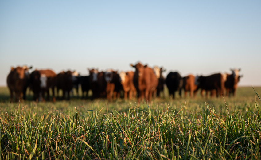 Cattle grazing on fresh grass