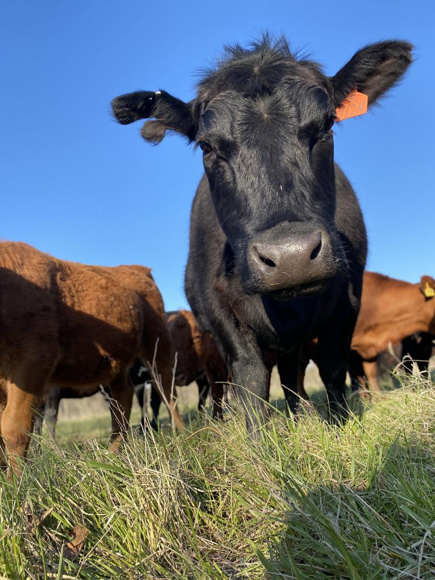 brandi_cattle