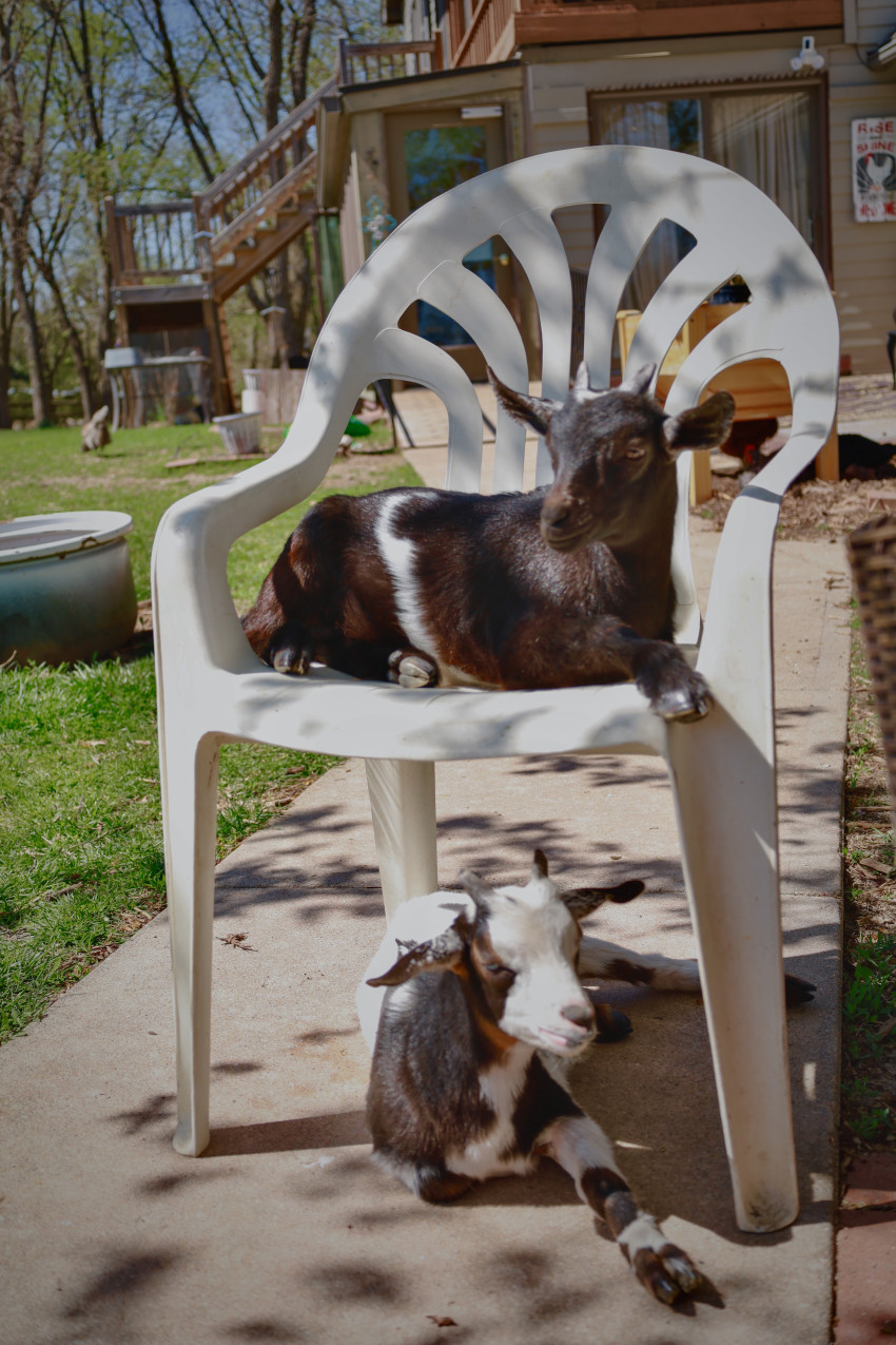 Lighthouse Goats in Chair