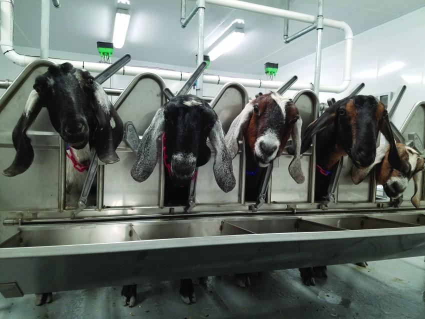 goatsmilking
