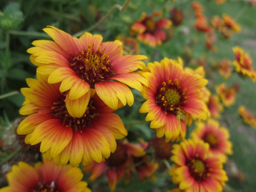 kansas wildflowers by color