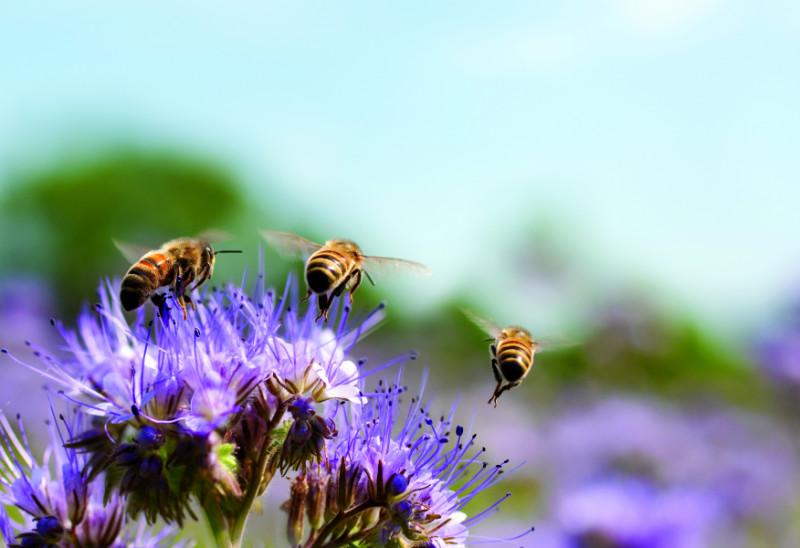 Bees on Purple Flowers