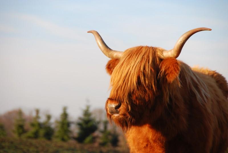 Five Heritage Livestock Breeds To Watch Kansas Living Magazine
