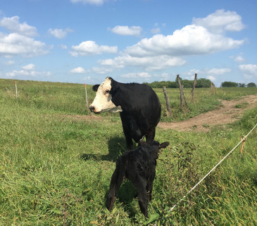 fall calves on grass