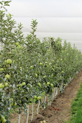Arctic Apple Field