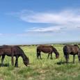 Big Kansas Road Trip _ Horses