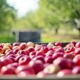 u pick apple orchard