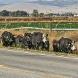 Cattle Near Road