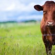 cow in pasture grass