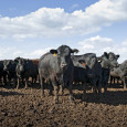 Steer in Feedlot