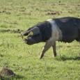pig in pasture